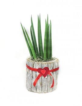 pianta di Sanseveria