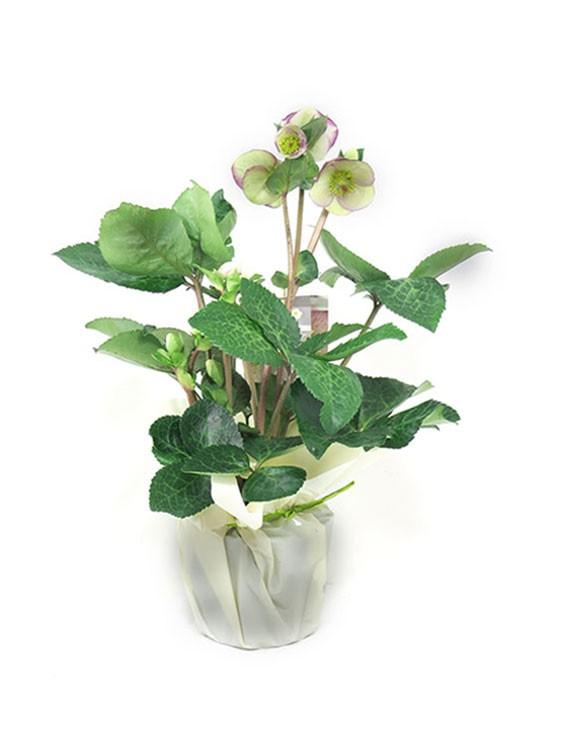 pianta di Helleboro