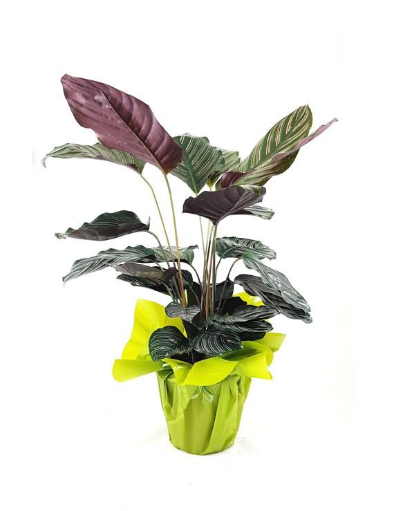 Pianta di Calathea Sanderiana