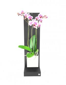 kit garden phalaenopsis