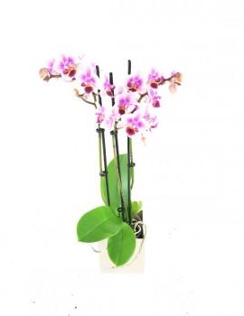 phalaenopsis cubo kalamitica